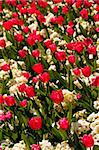 Red tulips and white flowers Stock Photo - Royalty-Free, Artist: Dutourdumonde                 , Code: 400-05670077