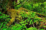 Lush foliage on fallen tree in temperate rain forest. Pacific Rim National Park, British Columbia Canada Stock Photo - Royalty-Free, Artist: Elenathewise                  , Code: 400-05671188
