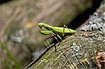 Green Praying Mantis in natural wooden environment Stock Photo - Royalty-Free, Artist: xbrchx                        , Code: 400-05672796