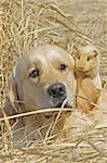 Labrador and Guinea-pig sitting together Stock Photo - Royalty-Free, Artist: pavelshlykov                  , Code: 400-05673640