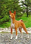 The Basenji is a breed of hunting dog that was bred from stock originating in central Africa. Most of the major kennel clubs in the English-speaking world place the breed in the Hound Group; more specifically, it may be classified as belonging to the sighthound type. The Federation Cynologique Internationale places the breed in Group 5, Spitz and Primitive types, and the United Kennel Club (US) pl Stock Photo - Royalty-Free, Artist: pavelshlykov                  , Code: 400-05673669