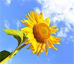Summer sunflower over blue cloud sky Stock Photo - Royalty-Free, Artist: tetkoren                      , Code: 400-05673910