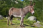 Orsiera Park, Piedmont Region, Italy: a donkey free in the park Stock Photo - Royalty-Free, Artist: Perseomedusa                  , Code: 400-05675998