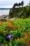 Blue flag iris wild flower at Atlantic coast in Newfoundland Canada Stock Photo - Royalty-Free, Artist: Elenathewise                  , Code: 400-05677084