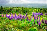 Purple and pink garden lupin wild flowers in Newfoundland Stock Photo - Royalty-Free, Artist: Elenathewise                  , Code: 400-05677087