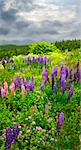 Purple and pink garden lupin wild flowers in Newfoundland Stock Photo - Royalty-Free, Artist: Elenathewise                  , Code: 400-05677088
