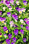 Floral background of blooming purple pansies flowers Stock Photo - Royalty-Free, Artist: Elenathewise                  , Code: 400-05677120
