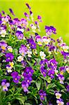 Flowering purple pansies in the garden as floral background Stock Photo - Royalty-Free, Artist: Elenathewise                  , Code: 400-05677121