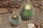 Two large cacti, one in flower, at the Cactus Garden on the campus of Kapiolani Community College in Honolulu, Hawaii Stock Photo - Royalty-Free, Artist: sgoodwin4813                  , Code: 400-05680871