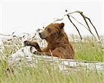 Large grizzly bears from Katmai National Park Stock Photo - Royalty-Free, Artist: GZSTUDIO                      , Code: 400-05681367