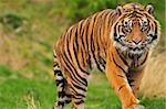 Scary looking male sumatran tiger coming straight towards you Stock Photo - Royalty-Free, Artist: neelsky                       , Code: 400-05682351