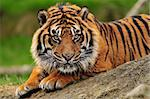 Beautiful male tiger crouching on a rock ready to pounce Stock Photo - Royalty-Free, Artist: neelsky                       , Code: 400-05682352