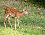 Deer fawn in spots that is alone on a grassy field Stock Photo - Royalty-Free, Artist: gsagi                         , Code: 400-05683296