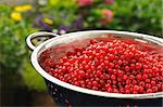 Fresh red currant berries with water drops in colander