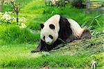 panda Stock Photo - Royalty-Free, Artist: leungchopan                   , Code: 400-05684606