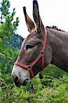 Orsiera Park, Piedmont Region, Italy: a donkey free in the park Stock Photo - Royalty-Free, Artist: Perseomedusa                  , Code: 400-05684626
