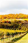 autumnal vineyards in Retz region, Lower Austria, Austria Stock Photo - Royalty-Free, Artist: phbcz                         , Code: 400-05690721