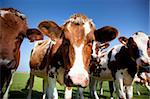 dutch cow with blue sky Stock Photo - Royalty-Free, Artist: rbouwman                      , Code: 400-05691874