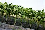 Field with tobacco crops that have grown rather tall Stock Photo - Royalty-Free, Artist: gsagi                         , Code: 400-05692080