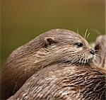 A pair of Oriental Short Clawed Otters cuddling Stock Photo - Royalty-Free, Artist: scooperdigital                , Code: 400-05693054