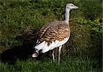 Portrait of a Great Bustard Stock Photo - Royalty-Free, Artist: scooperdigital                , Code: 400-05693088