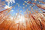 Tall Beautiful Wheat Grass Outdoors on a Sunny Day Stock Photo - Royalty-Free, Artist: tobkatina                     , Code: 400-05693310