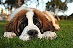 Adorable Saint Bernard Purebred Puppy Stock Photo - Royalty-Free, Artist: tobkatina                     , Code: 400-05693346