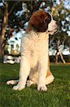 Adorable Saint Bernard Purebred Puppy Stock Photo - Royalty-Free, Artist: tobkatina                     , Code: 400-05693354