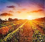 Beautiful vineyard landscape with rows of vines and sea with sunset in the background Stock Photo - Royalty-Free, Artist: mythja                        , Code: 400-05693364