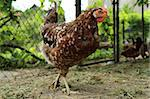 young chicken from the small czech farm Stock Photo - Royalty-Free, Artist: jonnysek                      , Code: 400-05693497