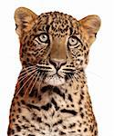 Close-up of Leopard, Panthera pardus, 6 months old, in front of white background Stock Photo - Royalty-Free, Artist: isselee                       , Code: 400-05695838