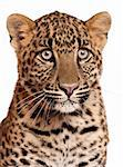 Close-up of Leopard, Panthera pardus, 6 months old, in front of white background Stock Photo - Royalty-Free, Artist: isselee                       , Code: 400-05695839