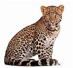 Leopard, Panthera pardus, 6 months old, sitting in front of white background Stock Photo - Royalty-Free, Artist: isselee                       , Code: 400-05695841