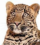 Close-up of Leopard, Panthera pardus, 6 months old, in front of white background