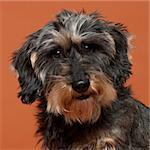 Close-up of Dachshund, 8 years old, in front of orange background Stock Photo - Royalty-Free, Artist: isselee                       , Code: 400-05695923