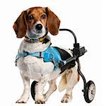 Paralyzed handicapped Basset Artésien Normand dog, 8 years old, in front of white background Stock Photo - Royalty-Free, Artist: isselee                       , Code: 400-05696077