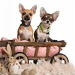 Chihuahua puppies, 3 months old, sitting in dog bed wagon with stuffed animals in front of white background Stock Photo - Royalty-Free, Artist: isselee                       , Code: 400-05697699