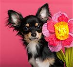 Close-up of Chihuahua puppy with flower, 6 months old, in front of pink background Stock Photo - Royalty-Free, Artist: isselee                       , Code: 400-05697709