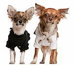 Chihuahua puppies, dressed up, 3 months old and 10 months old, standing in front of white background