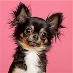 Close-up of Chihuahua, 2 years old, in front of pink background Stock Photo - Royalty-Free, Artist: isselee                       , Code: 400-05697778