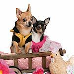 Chihuahuas, 5 years old and 3 years old, dressed up and sitting in dog bed wagon in front of white background