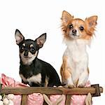 Chihuahuas, 14 months old, sitting in dog bed wagon in front of white background Stock Photo - Royalty-Free, Artist: isselee                       , Code: 400-05697804
