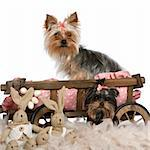 Two Yorkshire Terriers, 5 and 9 months old, with dog bed wagon and Easter stuffed animals in front of white background Stock Photo - Royalty-Free, Artist: isselee                       , Code: 400-05697827