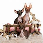 Three Chihuahuas, 6 and 7 months old, with dog bed wagon and Easter stuffed animals in front of white background Stock Photo - Royalty-Free, Artist: isselee                       , Code: 400-05697830