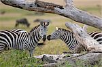 Zebra in Serengeti National Park, Tanzania, Africa Stock Photo - Royalty-Free, Artist: isselee                       , Code: 400-05698392