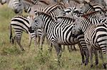 Zebra in Serengeti National Park, Tanzania, Africa Stock Photo - Royalty-Free, Artist: isselee                       , Code: 400-05698403