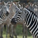 Zebra in Serengeti National Park, Tanzania, Africa Stock Photo - Royalty-Free, Artist: isselee                       , Code: 400-05698404