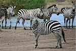 Zebra in Serengeti National Park, Tanzania, Africa Stock Photo - Royalty-Free, Artist: isselee                       , Code: 400-05698405
