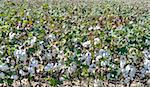 Cotton Field Just Before Harvest with Fresh Cotton. Stock Photo - Royalty-Free, Artist: brookebecker                  , Code: 400-05702904