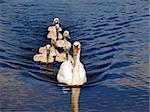 swan family at the blue water